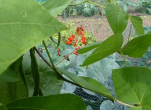 Runner Bean Soup - a recipe from Charlton Kings allotments