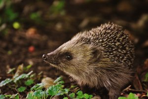 Help Save Hedgehogs This Winter