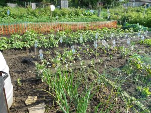 Allotment Tending - Coronavirus Emergency Measures
