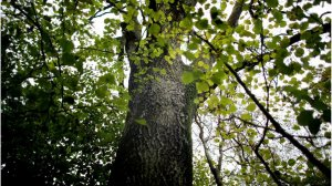 Ash Dieback Project- A message from Gloucestershire County Council